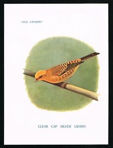 Canaries, Clear-Capped Lizard Breed, Antique Plate, St.John 1911