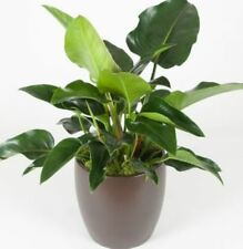 Philodendron Partial Shade Evergreen House Plants