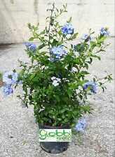 Plumbago Capensis o Auriculata - Gelsomino Azzurro vaso 18