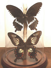 Common Mormon Swallowtail Butterfly Dome