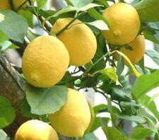 Huile Essentielle de Citron 100ml pure naturelle