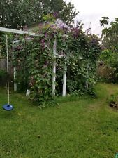 New listing Live- Hyacinth Purple Bean Plant, Decoration of Walls and Fences-Climbing vines