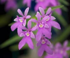 Bin- Epi. centropetalum syn.Oerstedella centradenia - Collectors item! Easy grow