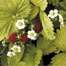 Strawberry - Golden Alexandria - 500 Seeds