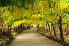 10 Graines Cassia fistula , Golden Shower tree seeds