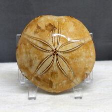 "3.1"" Amazing Petrified Fossil Sand Dollar Sea Biscuit Urchin Reiki Stone, Sdl33"