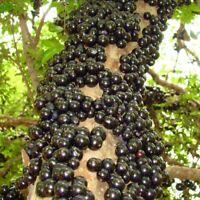Jaboticaba tropical fruit tree Exotic fruit 2'-3'  Rare fruit tree