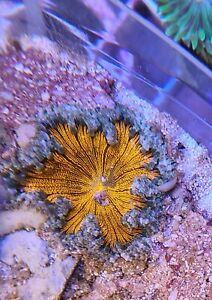 Live Coral Robbie's Corals Ultra Rock Flower Anemone Orange W/White Tentacles