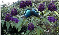 100 Seeds of Purple Dark  Velvet Butterfly Budhelia Bush  Very Pretty Perennial