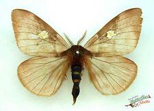 pinkish moth Dirphiopsis flora SET x1 taxidermy real moth Guatemala insect bug