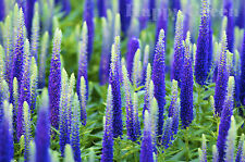 SPIKED SPEEDWELL - Veronica Spicata 2400 seeds PERENNIAL ROCKERY FLOWER