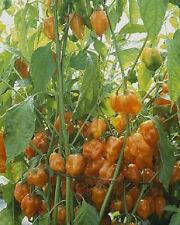 Pepper Seeds 1,500 Orange Habanero Seeds HOT CHILLI  BULK SEEDS