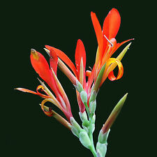 Canna indica/edulis, Indian Shot Lily, arrowroot achira araruta Ка́нна - 8 Seeds