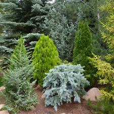 5 x Mixed Evergreen Conifers Bushy Ornamental Compact Garden Plants   9cm Pots