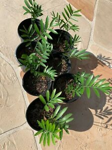 Encephalartos altensteinii Cycad Seedling - Rare