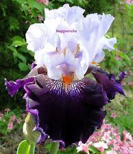 "Tall Bearded ""By Design"" Iris - White & Velvety Blue-Black '05 * Pre-Sale"