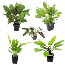 5 x Different Types of Echinodorus Mother Plants (Popular Aquatic Plants)