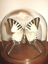 Five Barred Swordtail Butterfly Dome