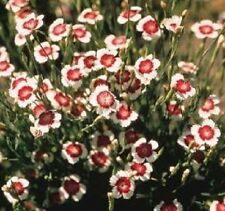 Dianthus deltoides 'Arctic Fire' / Maiden Pinks / Hardy Perennial / 40 Seeds