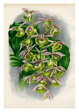Catasetum Fimbriatum by Jean Linden Orchids A4 Art Print