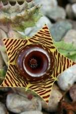 Usa Seller 25 Seeds Lifesaver Plant Zebra Cactus Succulent Garden Plant
