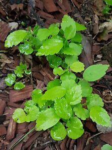 5 Hibiskus Pflanzen Eibisch Winterhart   verschiedenen Farben. Bilder sehen😉