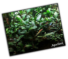 Bucephalandra species - Live Aquatic Aquarium Terrarium Plants RARE