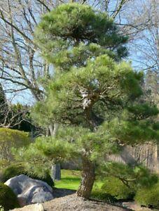 Japanese Black Pine Seeds (Pinus Thunbergii)