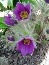 Küchenschelle Pulsatilla vulgaris Kuhschelle Teufelsbart Zauberpflanze