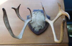 Rare Deer? Exceptional Antique Hunting Trophy Antler Rack Taxidermy