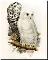 """Vintage John Gould Bird Art CANVAS PRINT~ Snowy Owl Poster 24""""X18"""""""
