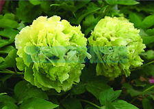 5 POLYPHYLL GREEN TREE PEONY SEEDS - (Paeonia suffruticosa)