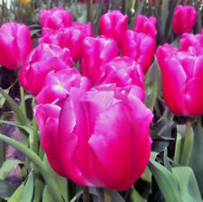 25 Pink Tulip Bulbs with Pale Pink Edge 'In Love' Spring Flowering Bulbs