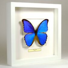 Real taxidermy butterfly mounted in white wooden frame - Morpho Didius