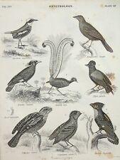 Birds of Paradise etc, Ornithology  - Original 1850 Antique Print B/W Engraving