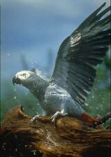 707014 African Gray Parrot In Hose Shower A3 Photo Print
