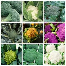 100Pcs Broccoli Vegetable Seeds 10 kinds Healthy Delicious Useful Organic Garden