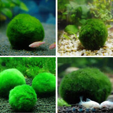 3-4cm Giant Marimo Moss Ball Cladophora Live Aquarium Plant Fish Aquarium Decor