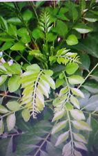 CURRY LEAF MURRAYA KOINGII  LIMDI PATTA PLANT MEDIUM  SIZE PLANTS   25-30CM