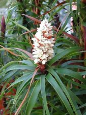 Dragon Leaf Richea Dragon Heath Seed Frost Hardy Native Cool Climate Unusual