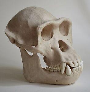 Chimpanzee Skull Replica