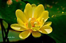6 Graines Nelumbo nucifera Yellow Lotus, Sacred lotus Seeds