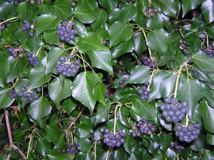 English Ivy - Hedera-helix - 100-Fresh-Seeds