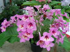 Fairy Flower Seeds x10 Streptocarpus Dragon Mixed Fairy Garden, Flower Seed