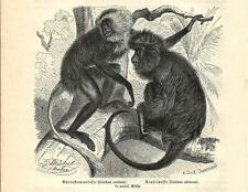 Stampa antica SCIMMIA Colobus ursinus monkey 1891 Old antique print