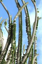 Madagascar Ocotillo, Alluaudia procera  African Didierea succulent seed 5 SEEDS
