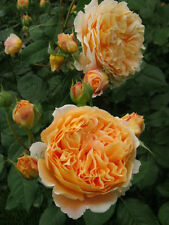 100 Englische Rose Crown Princess Margareta Auswinter Rose Seeds David Austin