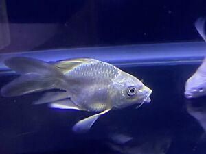 LIVE TROPICAL Fish- panda Ghost platinum ShortBODY Longfin KOI 4.5-5 inch