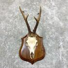 #23839 E+ | European Roe Deer Plaque Mount - Antlers