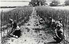 Land Girls planting tomatoes in Sussex, 1942 - Nostalgia post card